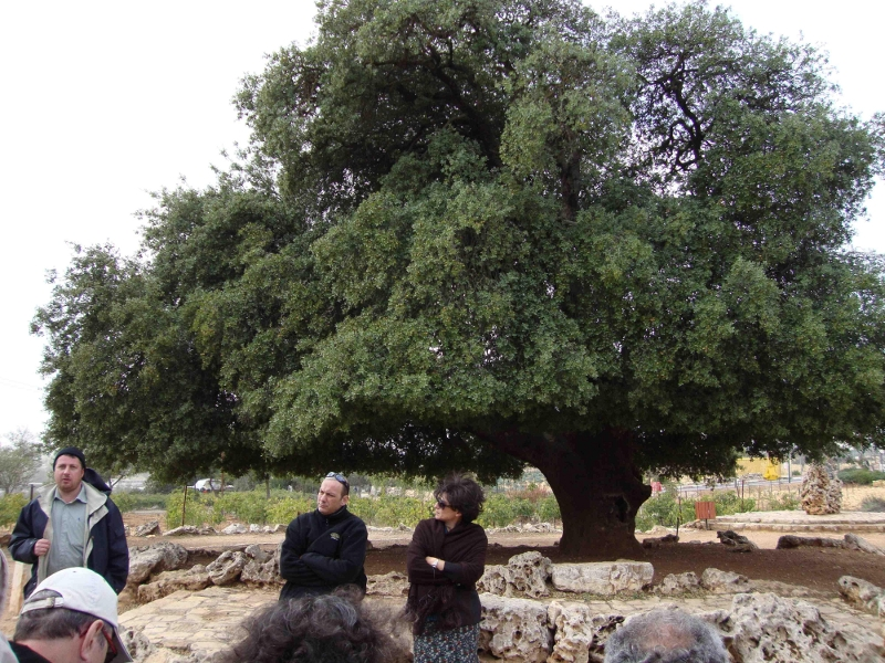 Le Chêne Solitaire, symbole du Gush Etzion